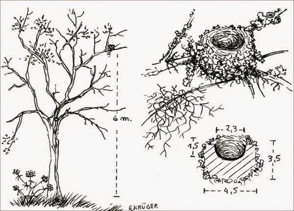 Picaflor enano, Microstilbon burmeisteri