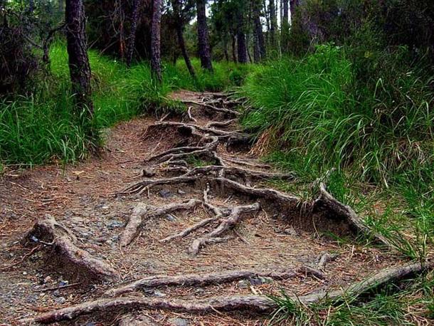 Дорожка на корнях
