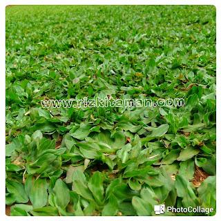 Macam macam rumput taman | pusat rumput gajah mini, rumput jepang, bermuda grass, rumput swiss