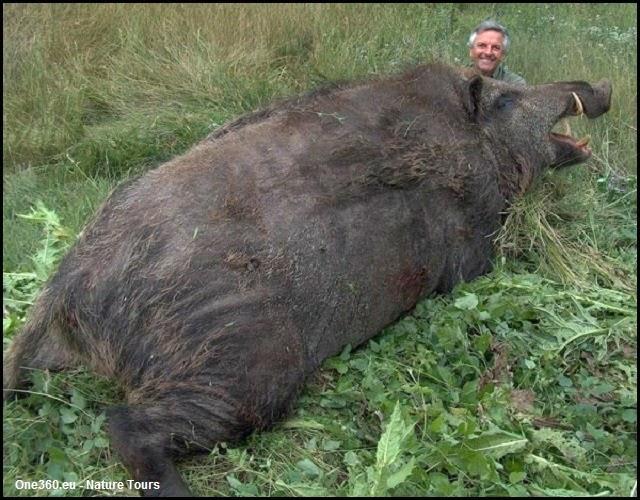 Les plus gros sangliers chass s du monde - Cuisiner du sanglier au four ...