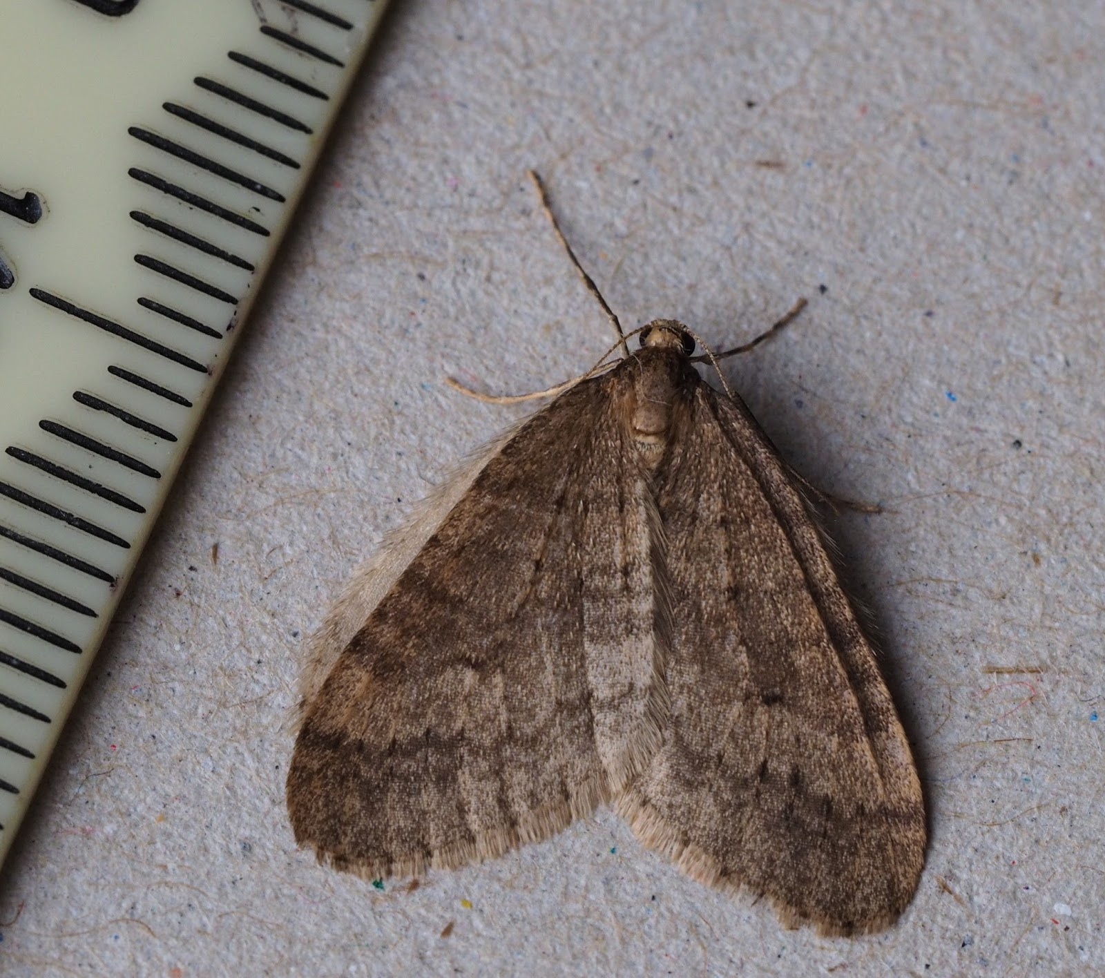 My First Winter Moth Of The Year Appeared At My Kitchen Window Last Night.