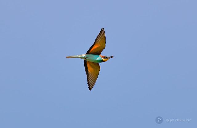 Bee-eater (Prigorie / Meropidae) 2