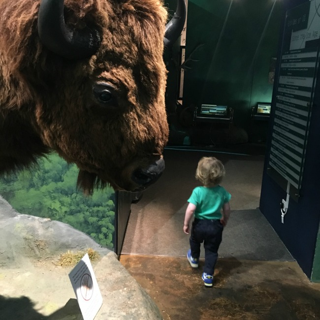 National-Museum-Cardiff-a-toddler-walking-past-bison-head