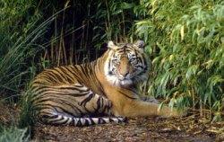 kucing harimau sumatera asli indonesia