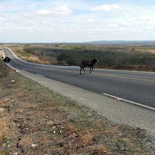 Polícia Militar da PB pode recorrer à Polícia Rodoviária Federal devido animais soltos na PB 167 que liga BR 104 a Sossego