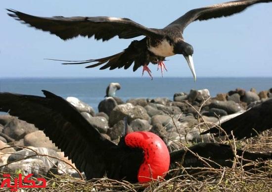 طيور فرقاطة الرائعة 550px-Magnificent_Frigatebird