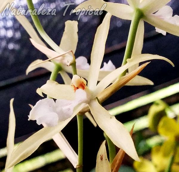 Flores de la orquídea Miltonia flavescens