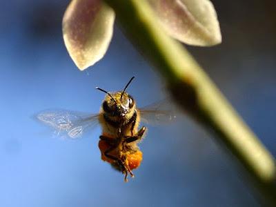 abelha-voando