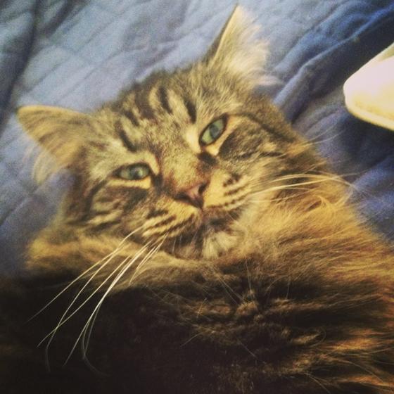 Kissa makoilee sängyllä ja katsoo kameraan