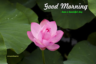 good morning with lotus flowers