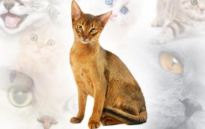Net 689 Kupas Tuntas Lengkap Nama Kucing Peliharaan 50 Jenis Kucing Abyssinian Kucing American Curl Kucing American Ringtail Kucing American Shorthair Kucing Amerikan Bobtail Kucing Anatolian Kucing Anggora Kucing Aphrodite Kucing Ashera