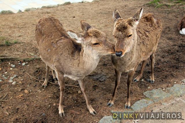 Ciervos de Nara dándose mimitos