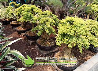 JUAL POHON BONSAI LEGISTRUM | TANAMAN LEGISTRUM
