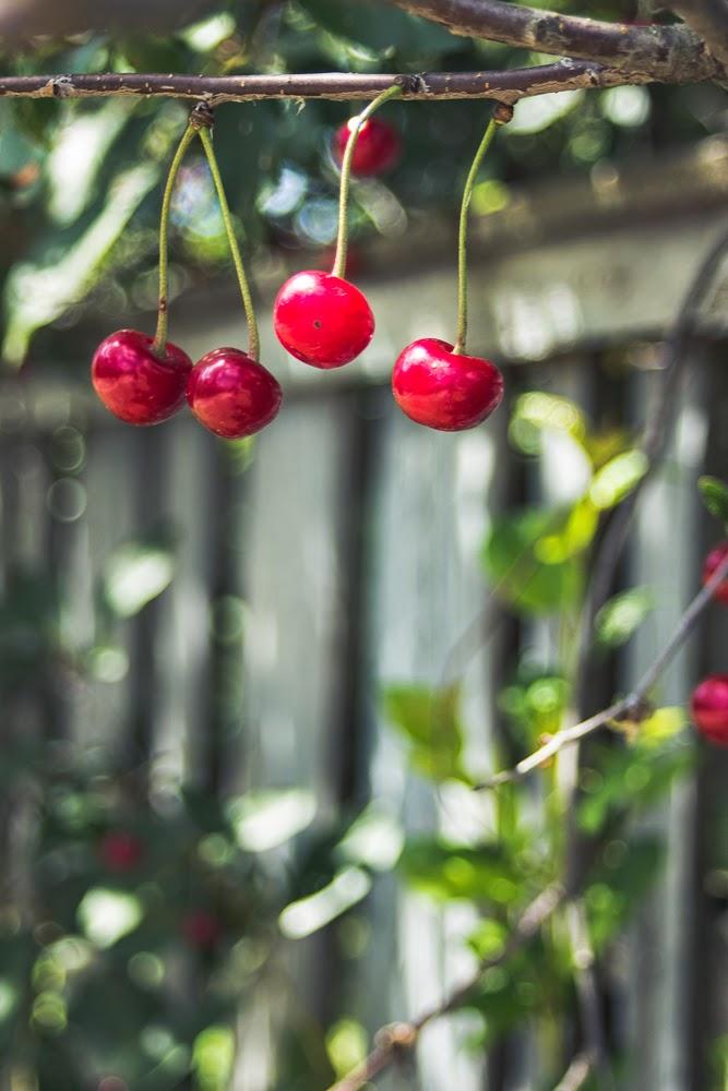 cherry garden ukraine sunlight summer harvest village