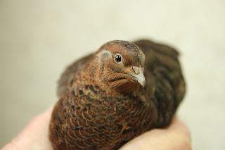 Tibetan quail organicall raised home-grown forage
