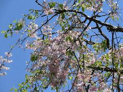鶴岡八幡宮の枝垂れ桜