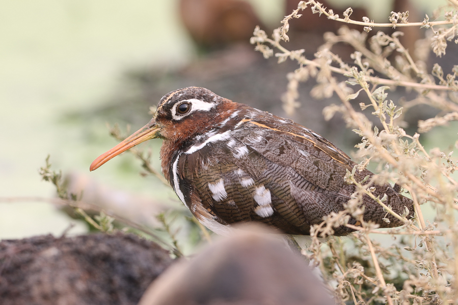 Greater Painted Snipe Rostratula benghalensis