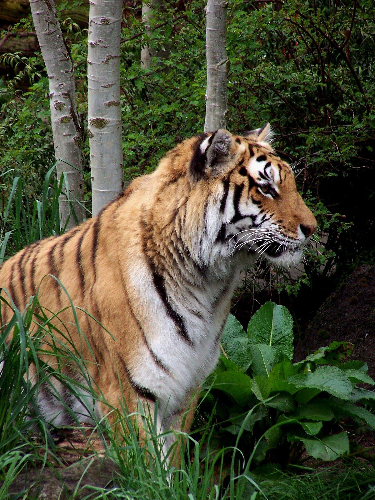 Oregon Zoo: ARTISTIC SENTIMENTS: Tigress