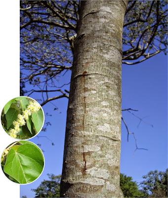 Croton urucurana tronco