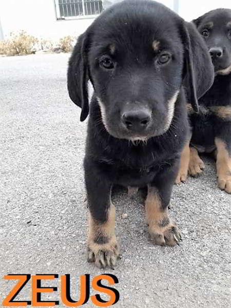 cachorro cruce de pastor alemán