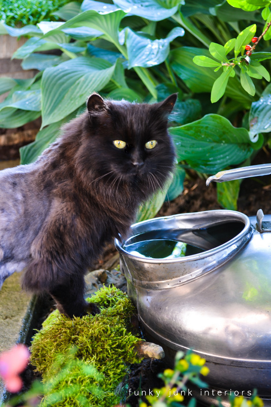 cat drinking rain water out of an antique milk container outdoors