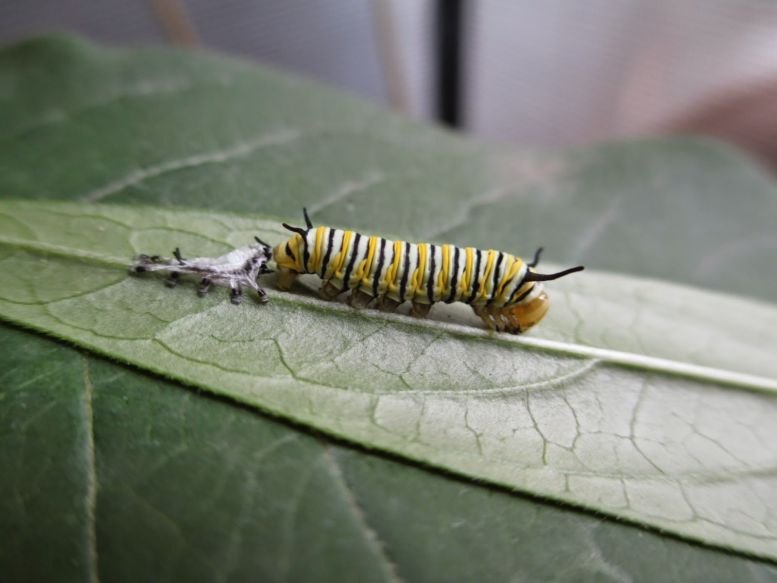 Caterpillar entering third instar