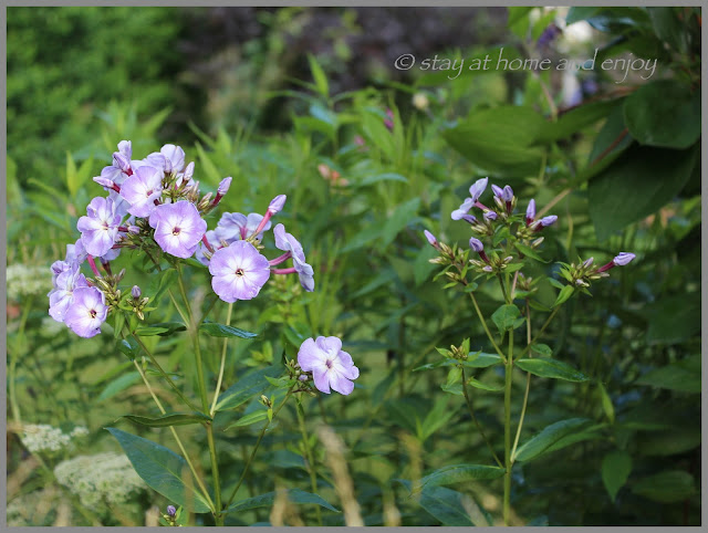 Phlox 'Katherine' - stay at home and enjoy