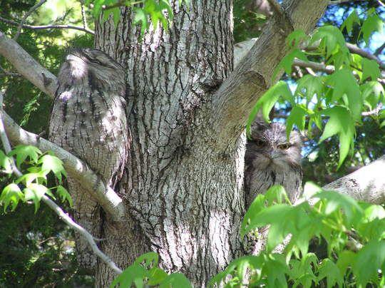 Burung Tawny Frogmouth