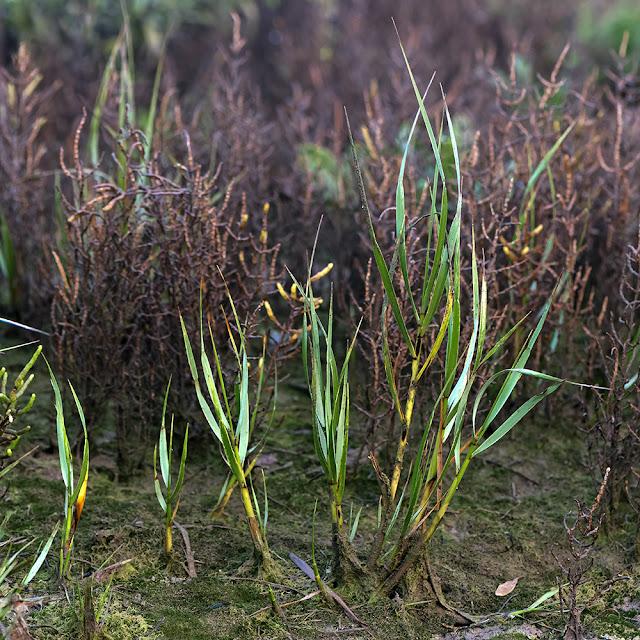 do spartina maritima plantations enhance the macroinvertebrate community in european salt marshes