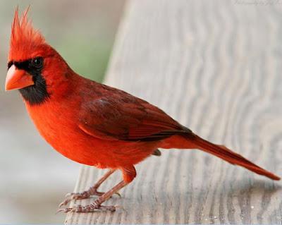"""""""Burung Cardinal"""""""