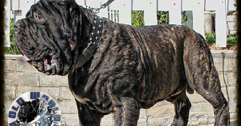 Molossus Dog For Sale