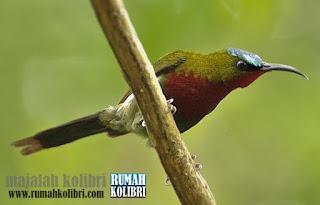 kolibri merak rajin bunyi