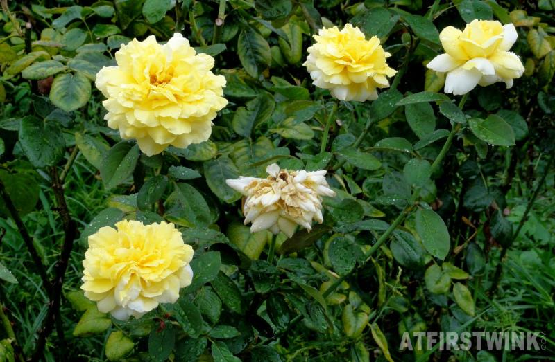 Shinjuku Gyoen 新宿御苑 yellow roses