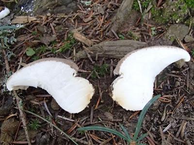 boczniak białożółty Pleurotus dryinus