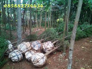 Tukang taman menjual pohon ketapang kencana harga murah