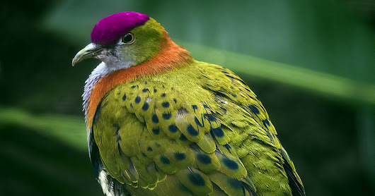 Birds: The Superb Fruit-Dove | A Rare Pink-Necked Green Pigeon