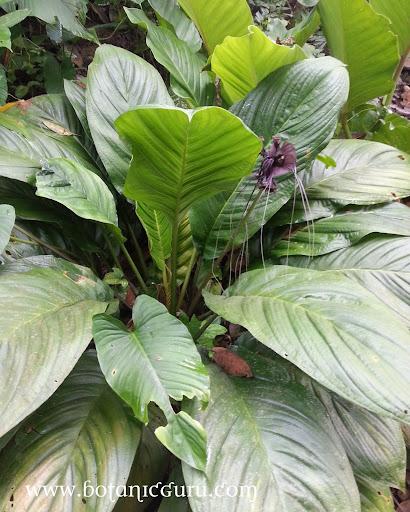 Tacca chantrieri, Bat Flower, Devil Flower shrub