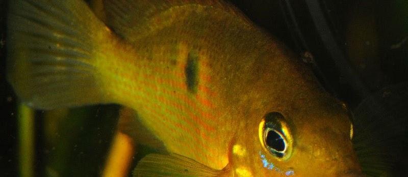 Ikan Hias Etropes Kuning (Orange Chromide) dan Budidayanya