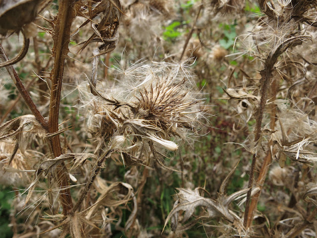 Spear Thistle Down (Cirsium vulgare)