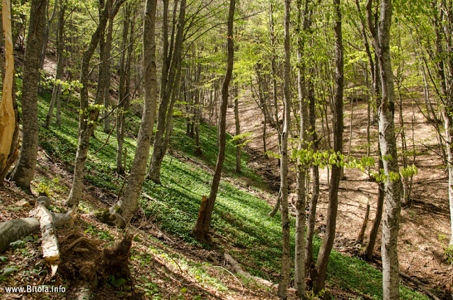 Wild - Bear Garlic - Neolica Hiking Trail, Bitola, Macedonia