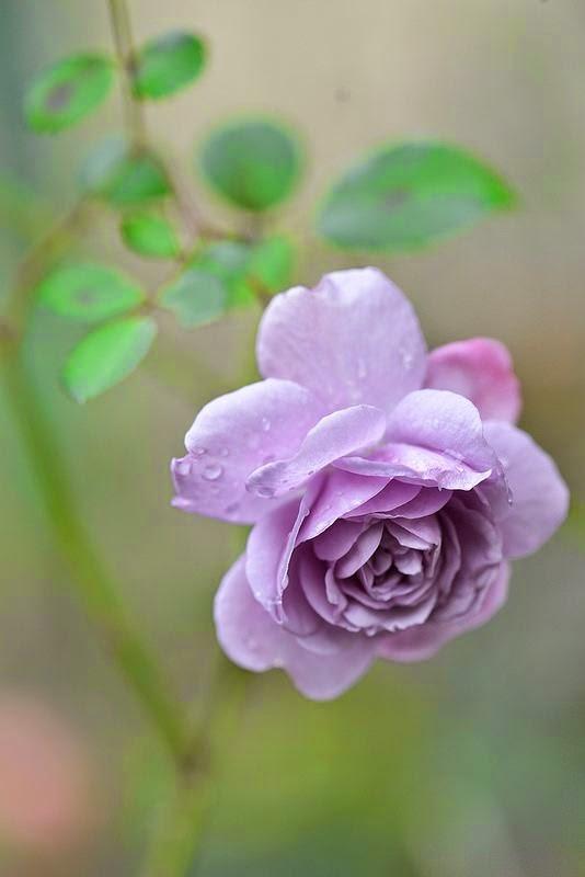 flowers gardens winter rose rainy blue