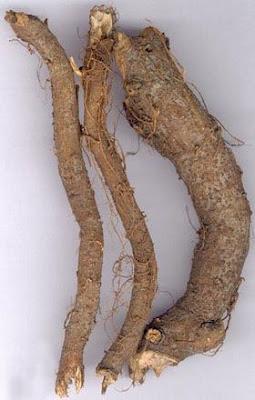 Cần phân biệt rễ cây gai với củ gai