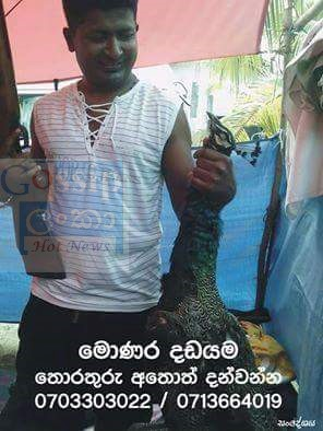 Peacock kills in Sri Lankan