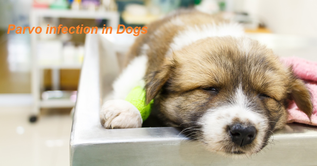 Best Treatment For Parvo In Dogs