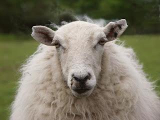 Koyun Çiftleşmesi