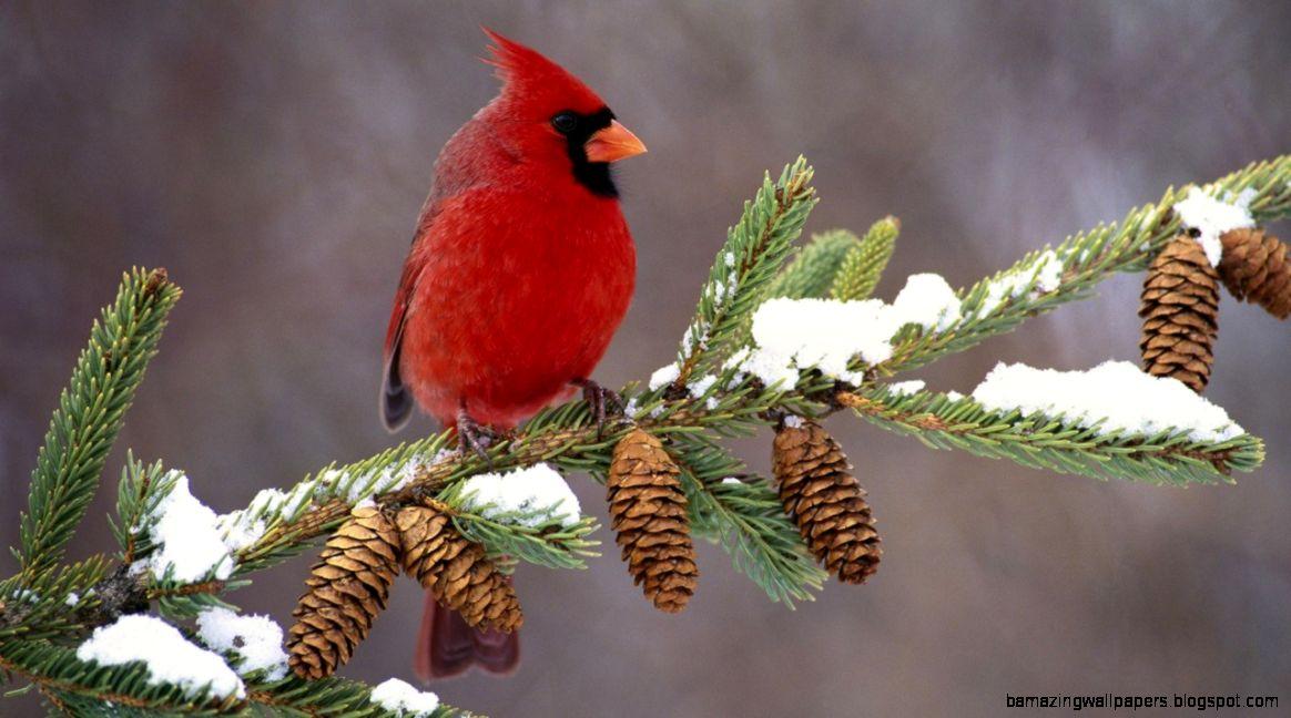 Cardinal wallpaper amazing wallpapers - Winter cardinal wallpaper ...
