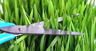 beneficios wheatgrass