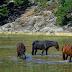 Αγρίνιο: Πυροβόλησαν και σκότωσαν προστατευόμενα άγρια άλογα