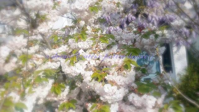 cherry blossom magic
