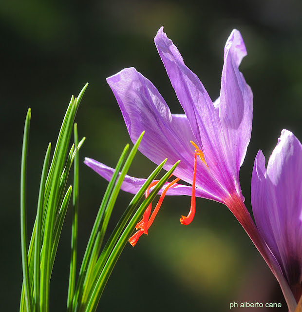 fioritura zafferano